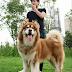 Alaskan Malamute và các giống chó phổ biến nhất tại Việt Nam