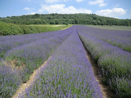 CIMG7503 Lavender, Castle Farm