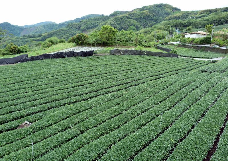 TAIWAN  Dans la region d ALISHAN - P1130714.JPG