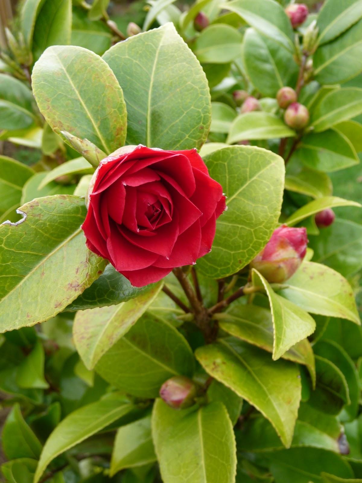 Ma Terre De Bruyere Camelias Japonica Ou Prunus Je Pense A Vous