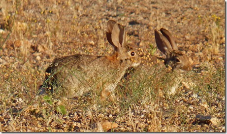 Cave Creek Regional Park - more bunnies