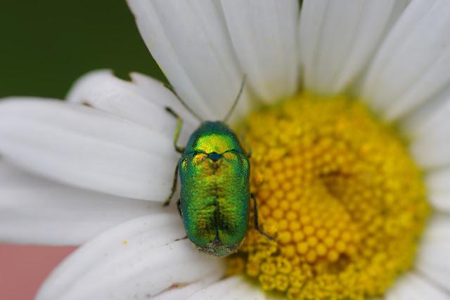 Chrysomelidae : Gastrophysa viridula DE GEER, 1775. Les Hautes-Lisières (Rouvres, 28), 13 juin 2012. Photo : J.-M. Gayman