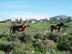 סוסים ערבים על רקע הכפר תורען