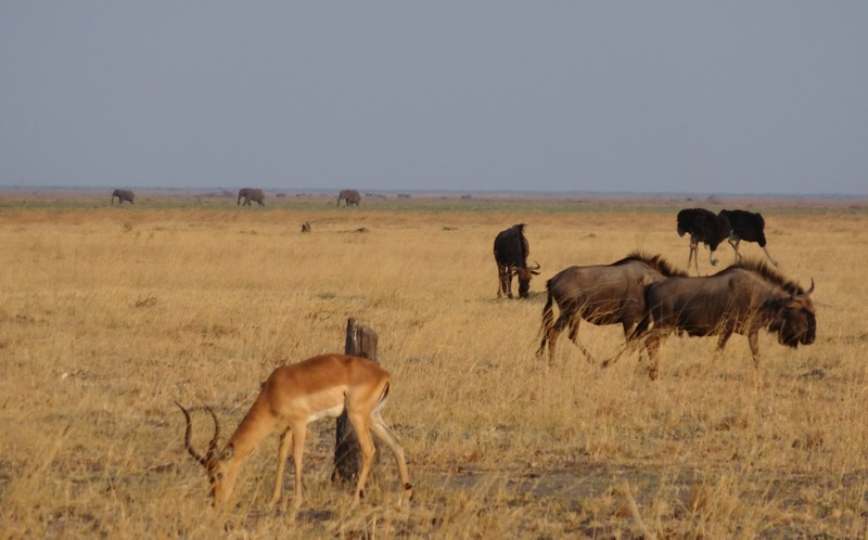 Impala, elephants and Wildebeast in Savuti