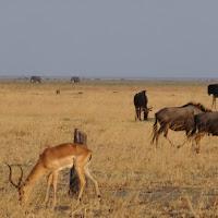 Impala, elephants and Wildebeast in Savuti