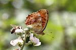 Marmoreret perlemorsommerfugl, daphne4.jpg