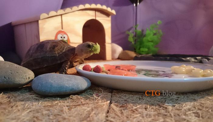 Thực đơn ăn uống hợp lý và đủ chất cho rùa Núi vàng từ nhỏ cho tới lớn