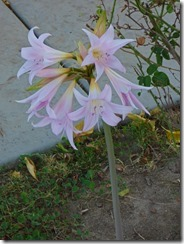 Belladonna Lily (Naked Lady), Citrus Heights, Ca