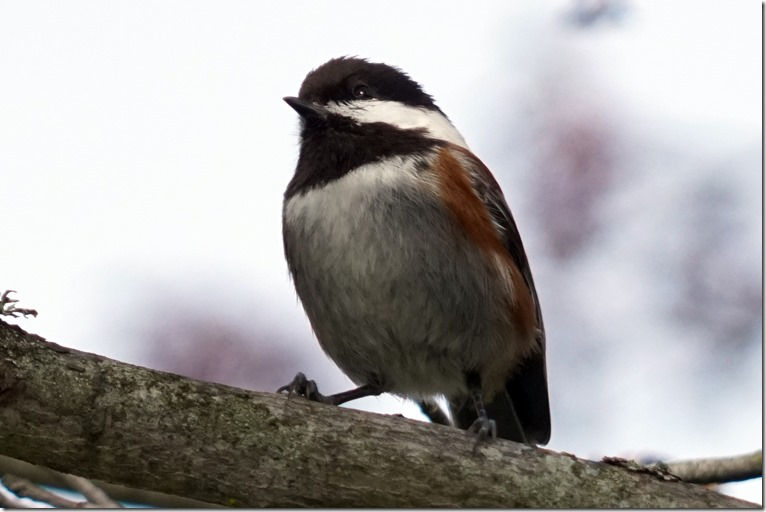 lopez chestnut sided chickadee 041117 00002