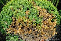 maladies des plantes de jardin soci t nantaise d 39 horticulture. Black Bedroom Furniture Sets. Home Design Ideas