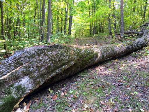 Large maple falling down from strong winds earlier this week on bootleg extension ski trail.