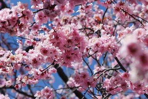 plum blossom.