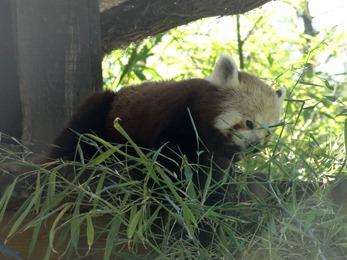 2017.06.17-063 panda roux