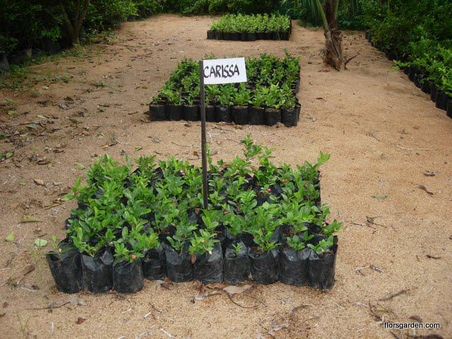 Carissa Plant - DSCN2197.JPG