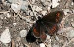 Erebia alberganus.2.jpg