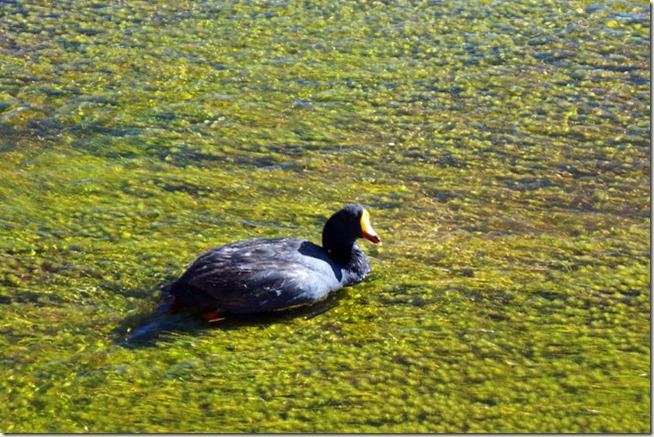 Pato no Vado-Rio Putana