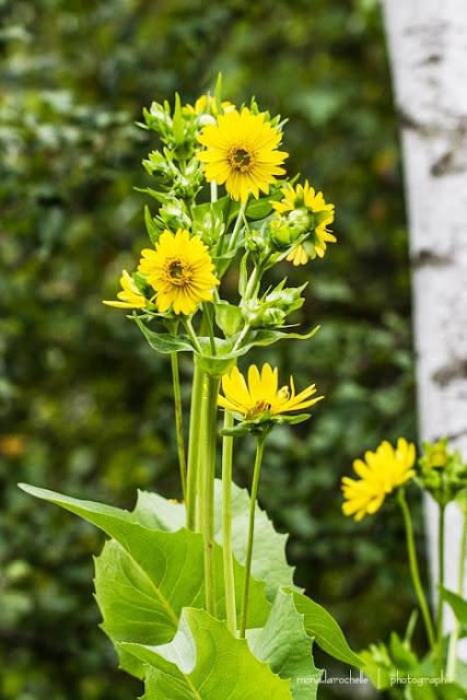 Silphium perfoliatum et Silphium integrifolium Silphium-perfoliatum-130809_2-116rm
