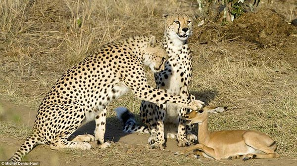 2 cheetahs and a young impala deer - Unusual photograph by Michel Denis-Huot