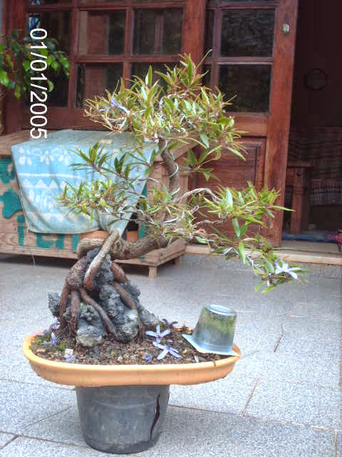 Ficus Nerifolia, Uma raiz de 3 anos... - Página 2 PICT2434