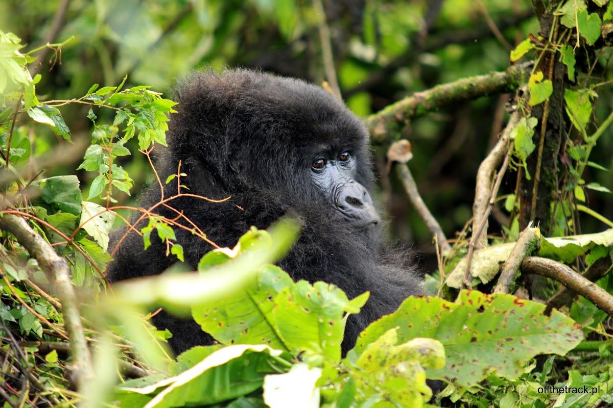 Mały goryl wśród liści, The Virunga massif region, Uganda