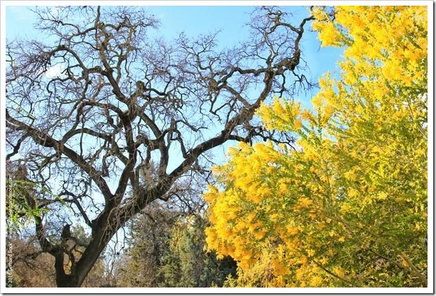 160215_UCDA_AcaciaGrove_Acacia-podalyriifolia_026