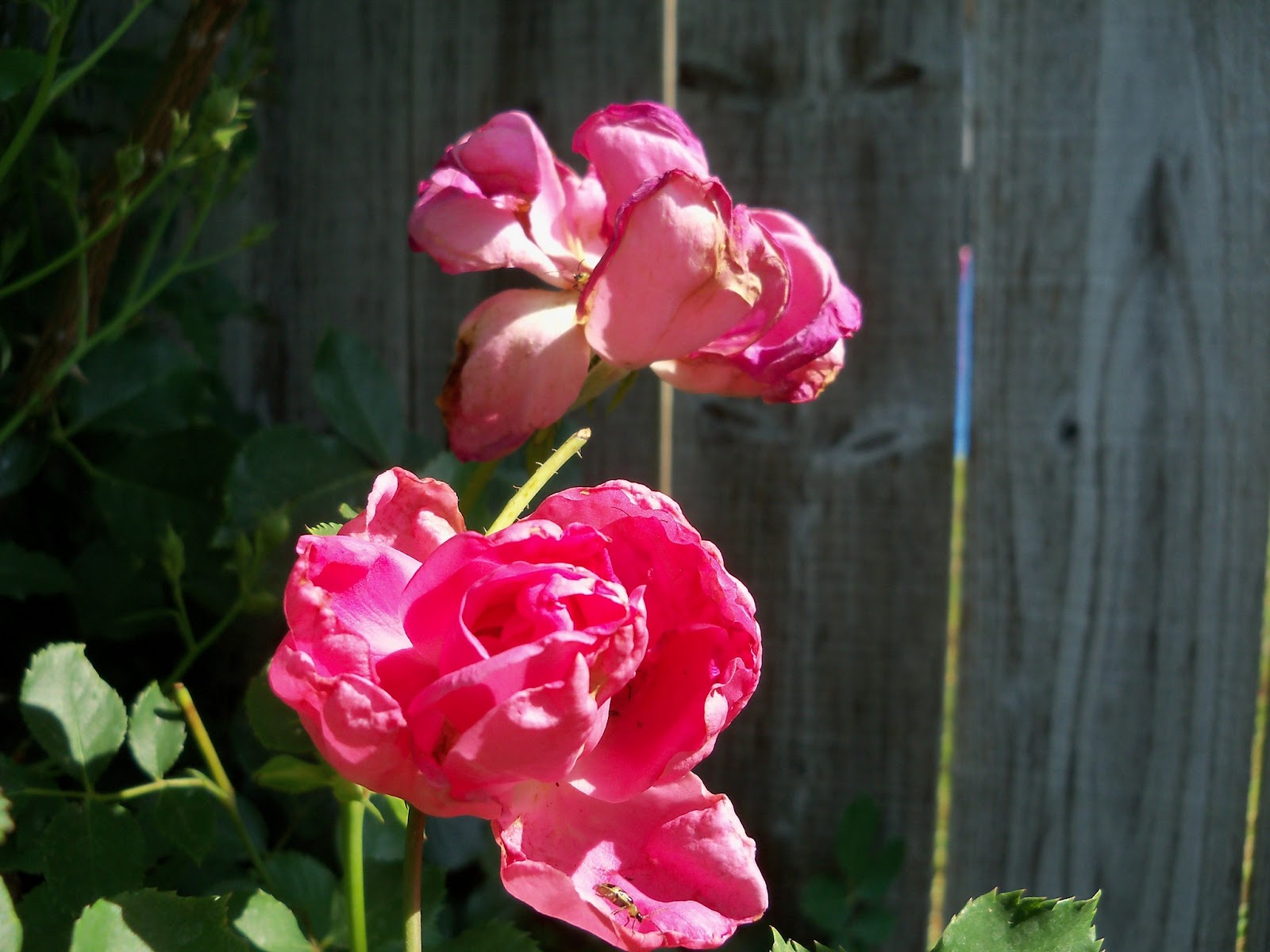 Gardening 2011 - 100_7883.JPG