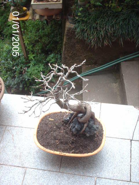 Ficus Nerifolia, Uma raiz de 3 anos... PICT1064