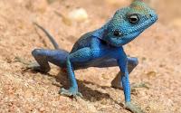 γαλάζια σαύρα,αρχικό γονίδιο,blue lizard, original gene