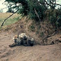 69 hyena Serengeti (2).jpg