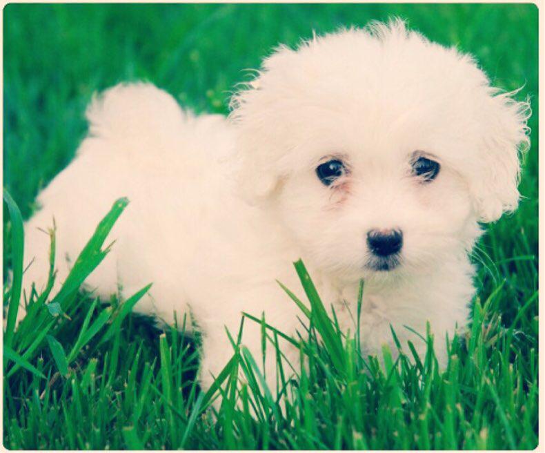 bichón maltés perro pequeño para convivir con niños