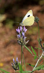 Kanarisk kålsommerfugl, Pieris cheiranthi2.jpg