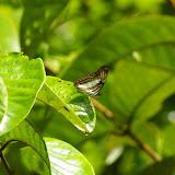 Adelpha radiata FRUHSTORFER, 1915. Près de Camp Patawa (second layon), Montagne de Kaw (Guyane). 16 novembre 2011. Photo : J.-M. Gayman