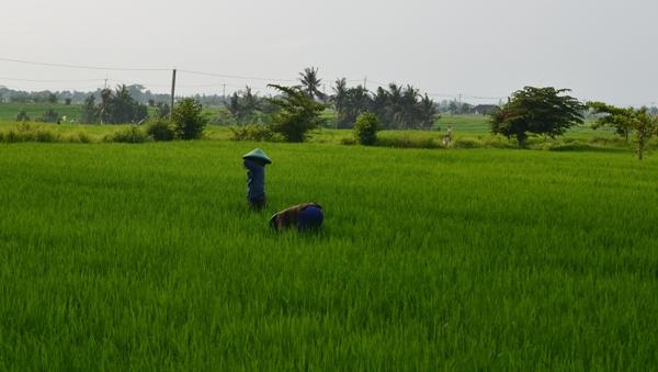 Plantações de Arroz