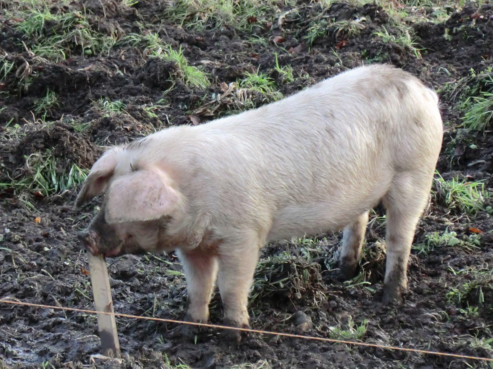 CIMG1408 Happy pig at South Farm