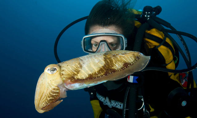 Cuttlefish, usually found in southern waters, have arrived in the UK's warming seas. Photo: Franco Banfi / Getty Images / WaterFrame RM