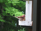 What a surprise! A male Purple Finch at Brightside Acres.