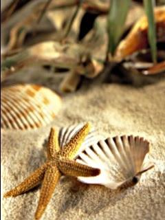 besplatne slike za mobitele free download priroda morska zvijezda morske školjke plaža ljeto