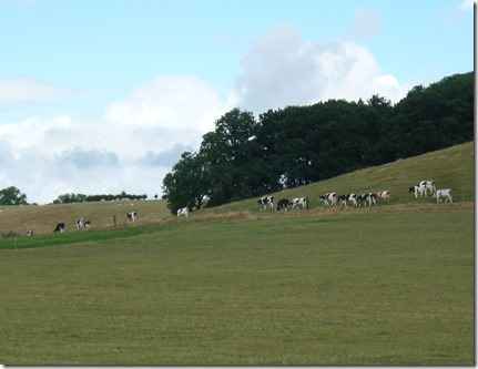 4 cattle on the laughton hills