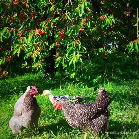 French Village Diaries weekend in rural France cherry trees chickens