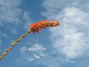 Ocotillo buds make a nice contrast against the blue Desert sky.