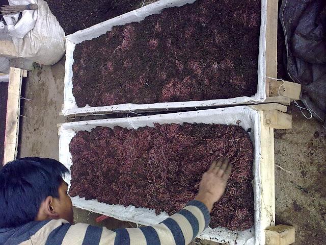 Bisnis rumahan menguntungkan yang akan kita bahas kali ini berasal dari kota Malang Bisnis Rumahan Ternak Cacing Menghasilkan 300 Juta per Bulan