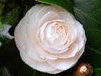 極淡桃色 千重咲き 中輪
