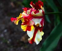 D_G_B_ParkerR_Parrot Tulip.JPG