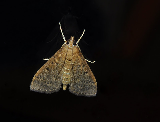 Crambidae : Pyraustinae : Herpetogramma licarsisalis WALKER, 1859. Umina Beach (New South Wales, Australie), 30 mars 2011. Photo : Barbara Kedzierski