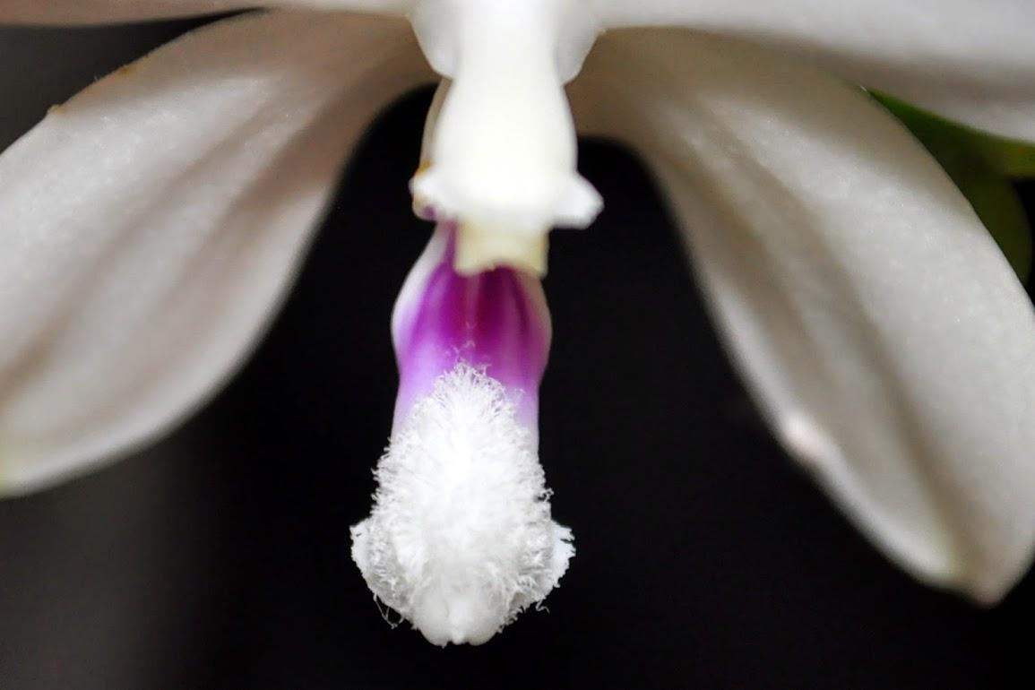 Phalaenopsis tetraspis C#1 - Un autre CSC_0009