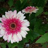 Gardening 2013 - 115_6029.JPG