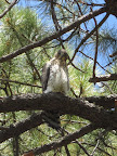 Paseo del Lobo: Cooper's hawk at camp (Photo by J. Davis)