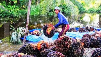 Bikin Petani Sawit Senyum-senyum,  Harga Sawit di Riau Naik Lagi Periode 25-31 Agustus Capai Rp 2.804 Per Kilogram
