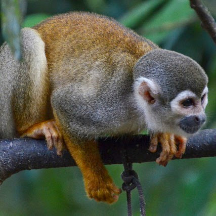 Squirrel Monkey. From How to get an A+ in Amazon 101