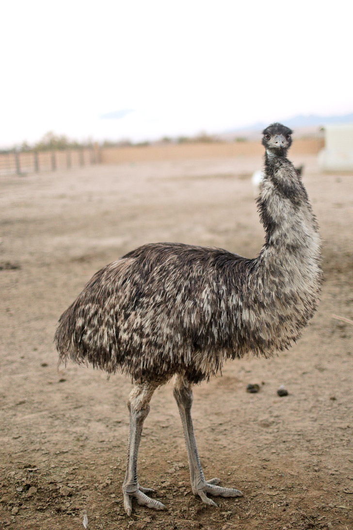 Emu Bird // Las Vegas Animals in Private Zoo.
